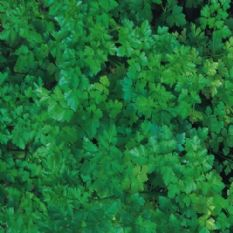 Parsley Plain leaved - French- Min 500 seeds